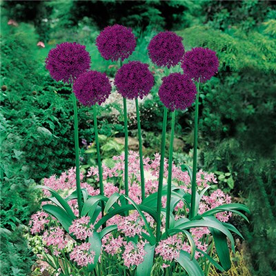 Plant-o-Mat Classic Alliums Mixed Planter - 45 x Bulbs