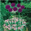 Plant-o-Mat Classic Alliums Mixed Planter - 45 x Bulbs No Colour