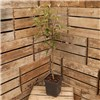 Apple Coxs Orange Pippin - 1 x 5L Potted Tree