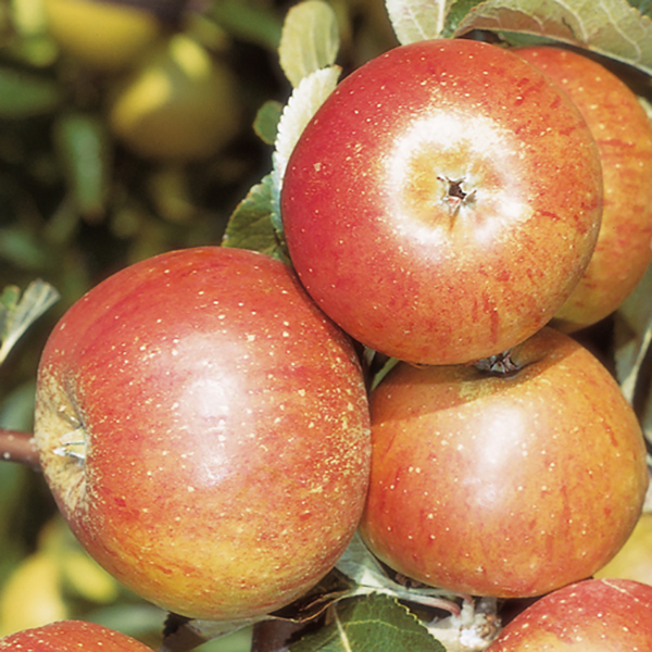 Apple Coxs Orange Pippin - 1 x 5L Potted Tree No Colour