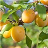 Plum Oullins Golden Cage Tree 5L No Colour