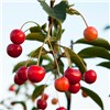 Sweet Cherry Sunburst - 1 x 5L Potted Tree No Colour