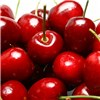 Sour Cooking Cherry Morello Tree 5L No Colour
