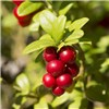 Cranberry Pilgrim Plant 2L No Colour