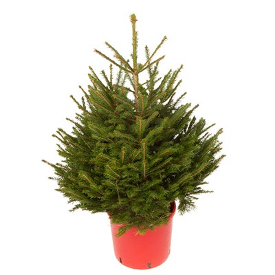 Living Norway Spruce Christmas Tree in Pot