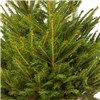 Living Norway Spruce Christmas Tree in Pot No Colour
