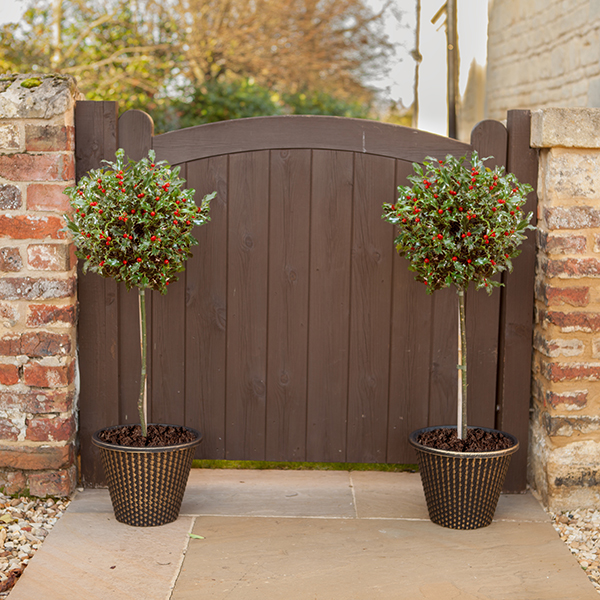 Holly Tree Standards with Gold Decorative Pots (Pair) No Colour