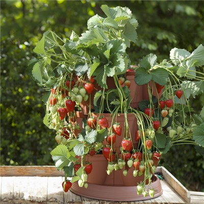 Set of 4 GrowIn Pods with 4 Strawberry Runners