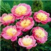 Paeony Bowl of Beauty - 1 x Bare Root No Colour