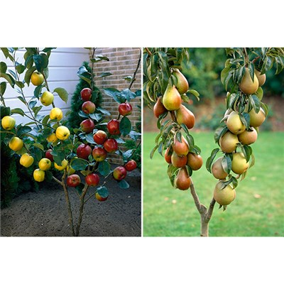 Duo Fruit Trees Apple & Pear (Pair)