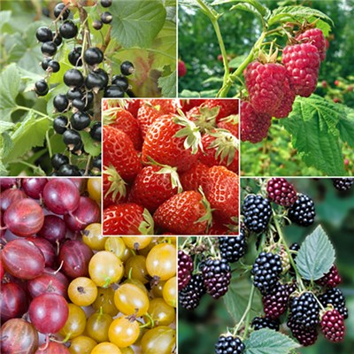 Complete Patio Fruit Collection - 21 Plants in 5 Types
