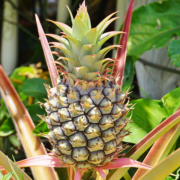 Edible Pineapple Plant 'Ananas Comosus' No Colour