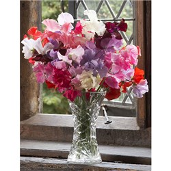 Sweet Pea Super Fragrant Mix x 12 Pots