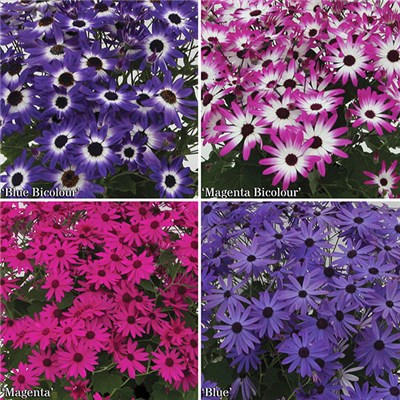 Colourful Early Season Senetti Plugs x 12 Jumbo Plugs