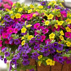 Mini Petunia Million Bells Collection