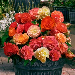 Fragrant Aromantic Begonias - 24 jumbo plugs