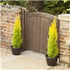 Pair Golden Cypress Trees 80-100cm tall