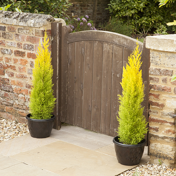 Golden Scented Cypress 'Goldcrest' Trees 80cm Tall (Pair) No Colour