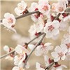 Dwarf Flowering Cherry Prunus Kojo No Mai in 3L pot No Colour