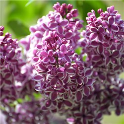Fragrant French Lilac Plants Collection - 3 x 11cm Plants