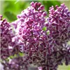 Pack of 3 Fragrant French Lilac Plants in 11cm Pots