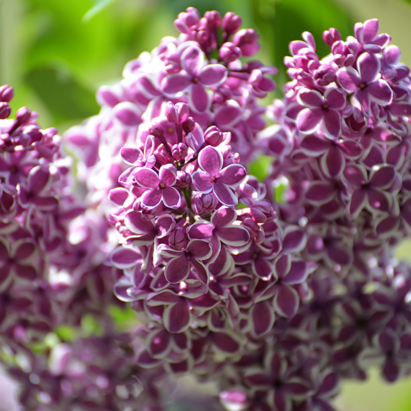 Fragrant French Lilac Plants Collection - 3 x 11cm Plants No Colour