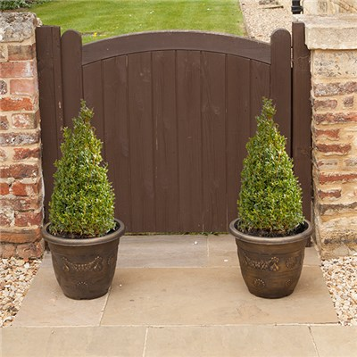 Pair of Box Topiary (Buxus sempervirens) Pyramids 45/50cm tall