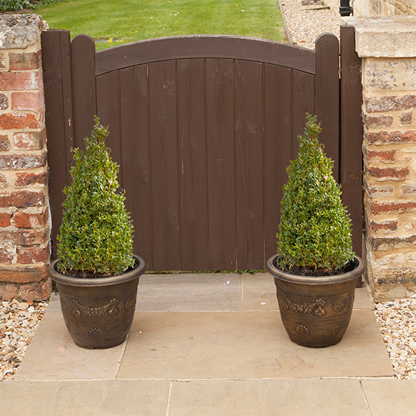 Pair of Box Topiary (Buxus sempervirens) Pyramids 45/50cm tall No Colour