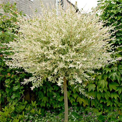 Flamingo Willow 'Salix Integra' 1m Standard