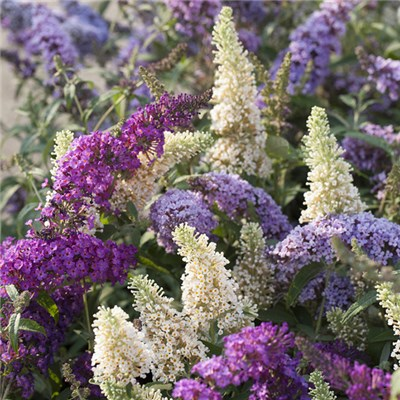Buddleia Tricolour Plant in 2L Pot