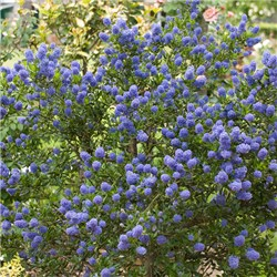 Pair Ceanothus Standards 90cm