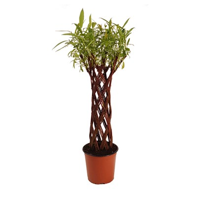 Living Willow sculpture Harlequin design 3L pot 60cm tall