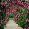 Pair of Climbing Roses with 2.4m Garden Arch