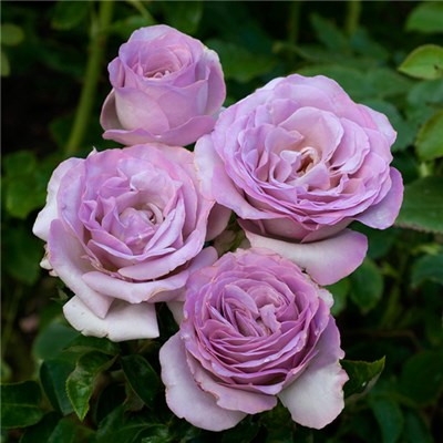 Rose Blue Beauty half standard 80cm Tall Bare Root