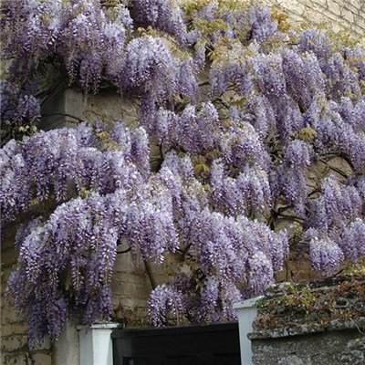 Wisteria Climber Blue 1.2m Tall in 3L Pot