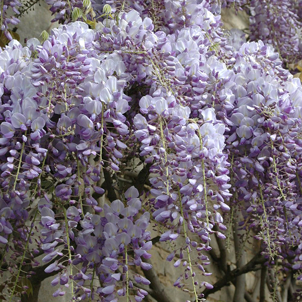 Wisteria climber Blue 3L 1.2M tall No Colour