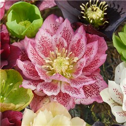 Hellebore Double Queens Mix 6 x 9cm