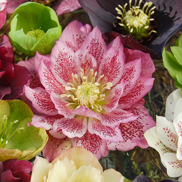 Hellebore 'Double Queens' Mix in 9cm Pots (6 Pack) No Colour