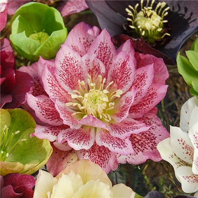 Hellebore 'Double Queens' Mix - 6 Plants in 9cm Pots