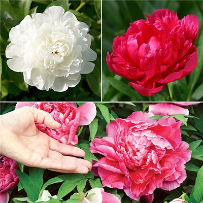 Hardy Paeony Bushes - Pack of 3 Bare Root