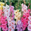 100 Glamourous Gladioli bulbs No Colour