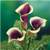 Zantedeschsia Picasso (Purple Arum Lily) - pack of 3 corms