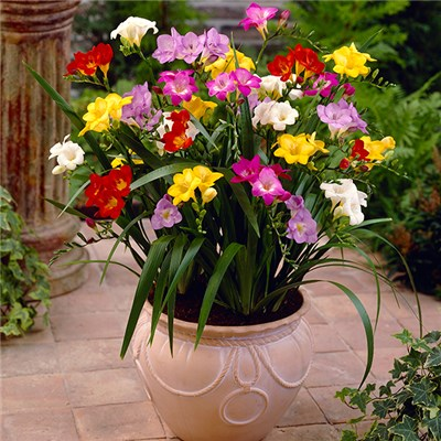 100 Mixed Garden Freesias