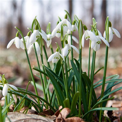 Snowdrops Single Flowering Bulbs In The Green (100 Pack)