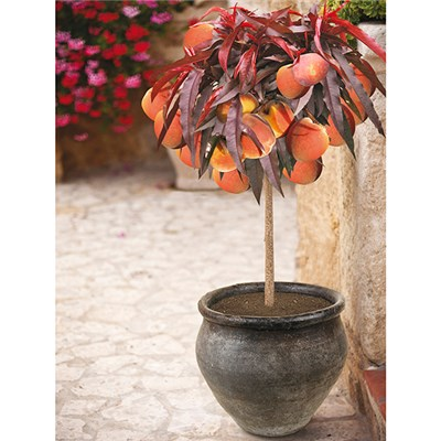 Red Leaf Patio Peach 'Crimson Bonfire' Bare Root