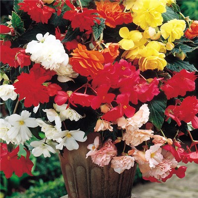 Belgian Giant Begonias (10 Upright and 10 Trailers)