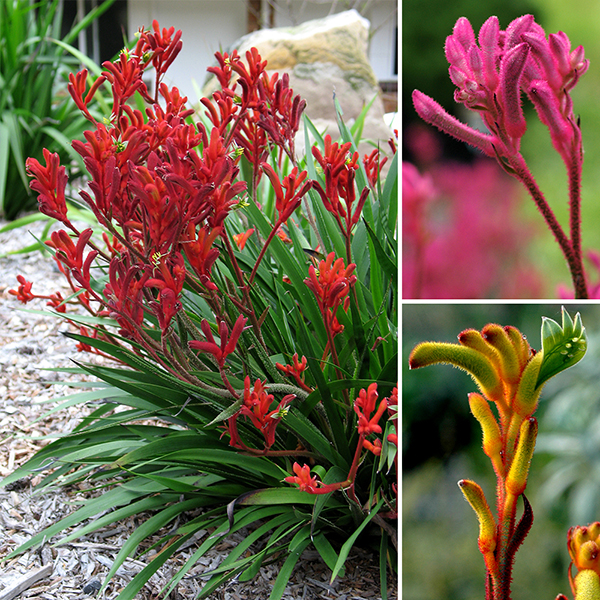 Image of 3 x Kangaroo Paws Bush Gems in 10.5cm Pots
