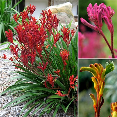 3 x Kangaroo Paws 'Bush Gems' in 10cm (4in) Pots