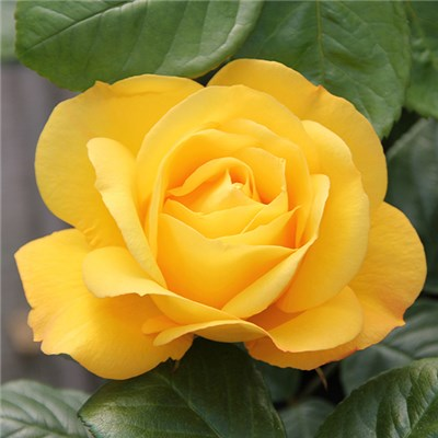 Rose Arthur Bell Bare Root (Yellow)