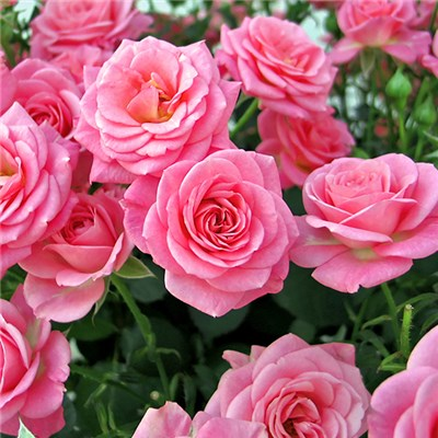 Rose Queen Elizabeth Bare Root (Pink)